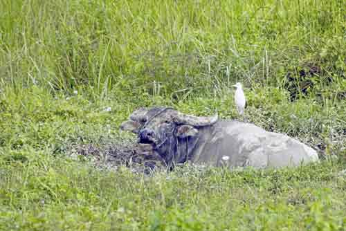 water buffalo and egret-AsiaPhotoStock