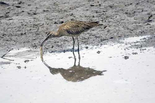whimbrel feeding-AsiaPhotoStock
