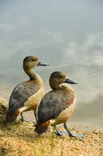 two whistling ducks-AsiaPhotoStock
