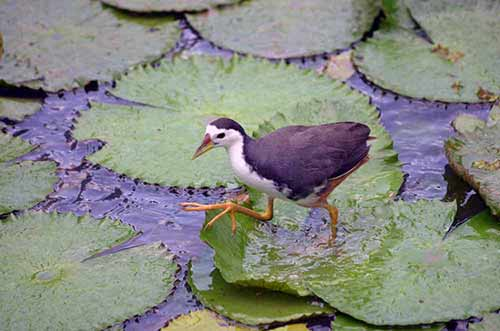 white breast waterhen-AsiaPhotoStock