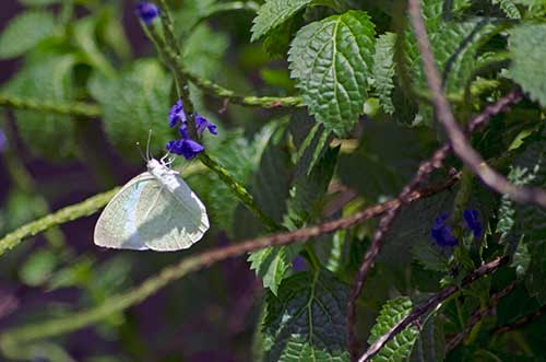 white butterfly-AsiaPhotoStock
