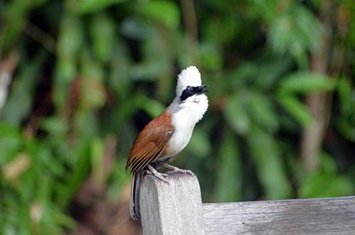 white crested-AsiaPhotoStock