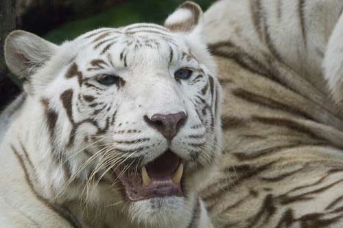 white tiger teeth-AsiaPhotoStock