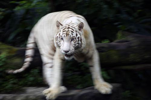 bengal white tiger-AsiaPhotoStock
