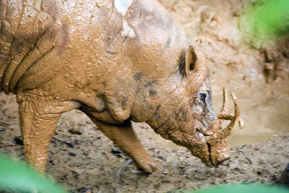 wild boar in mud-AsiaPhotoStock