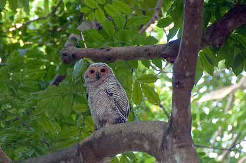 wood owl-AsiaPhotoStock