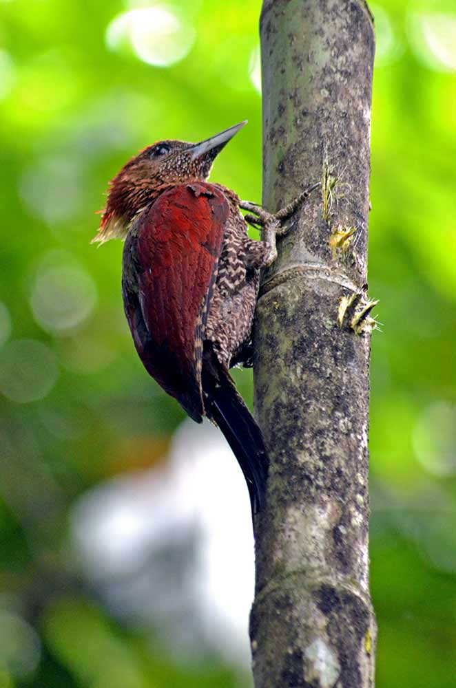 banded woodpecker on tree-AsiaPhotoStock