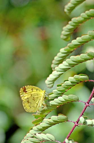 yellow indian butterfly-AsiaPhotoStock