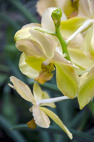 yellow orchid-AsiaPhotoStock