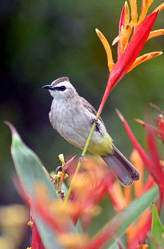 yellow vented bulbuls-AsiaPhotoStock