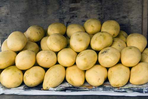 yellow mangoes pile-AsiaPhotoStock