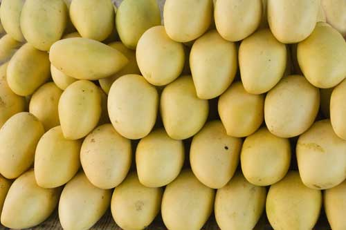 yellow mangoes-AsiaPhotoStock