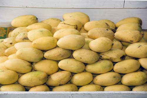 lots of mangoes-AsiaPhotoStock