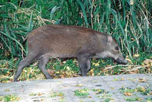 wild boar passing by-AsiaPhotoStock