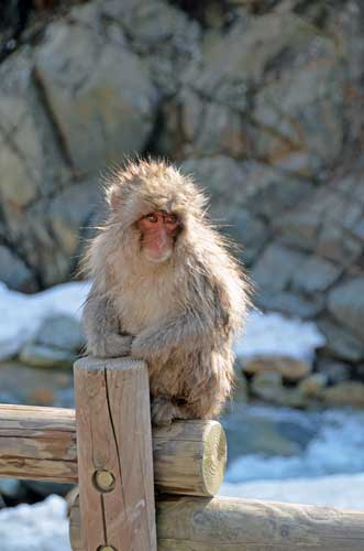 young japan monkey-AsiaPhotoStock