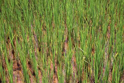 young rice-AsiaPhotoStock