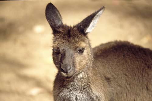 tammer wallaby-AsiaPhotoStock
